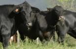 ternera, alimentación, reproducción, rentabilidad, Producción, vacas, lactancia, productividad, Inmunidad, crecimiento, desarrollo del rumen, calostro, Ganadería, ganadería colombia, noticias ganaderas colombia, CONtexto ganadero