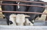 Edición genética bienestar animal, transgénesis, modificación genética en vacas, modificación genética bovinos, mejoramiento genético ayuda al medio ambiente, CRISPR, Vacas modificadas genéticamente, historia de las vacas transgénicas, toro transgénico, vaca transgénica, Genómica ganadería, genoma del ganado, coronavirus, coronavirus Colombia, COVID-19, cuarentena, Ganadería, ganadería colombia, noticias ganaderas, noticias ganaderas colombia, CONtexto ganadero