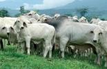 Semen sexado ganado de carne, ganadería de carne Colombia, ganadería carne semen sexado, producción de carne bovina, tecnologías reproductivas vacas, tecnologías en ganadería, ganaderías de carne, inseminación artificial a tiempo fijo, IATF, uso de biotecnologías reproductivas, hormonas bovinos, semen sexado, coronavirus, coronavirus Colombia, COVID-19, cuarentena, Ganadería, ganadería colombia, noticias ganaderas, noticias ganaderas colombia, CONtexto ganadero