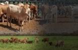 criterios para vender novillos o toros gordos, Precio del ganado bovino, vender novillo, vender toros gordos, peso del novillo para la venta, peso del ganado gordo para la venta, rendimiento de la canal, cuánto dinero cuesta producir un kilogramo de peso vivo de un bovino, peso de los machos gordos producidos en Colombia y comercializados en pie, Tame (Arauca), la merma en la producción cárnica bovina, Bos Taurus, rendimiento en canal fría, engrasamiento durante la fase final del engorde, cruzamiento de la