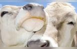 Bienestar Animal, manual, Minagricultura, ICA, productores, Plan Nacional de Desarrollo, estándares internacionales, OIE, protección, corrales, tratados internacionales, Selección genética, instalaciones, Ganadería, ganadería colombia, noticias ganaderas colombia, CONtexto ganadero