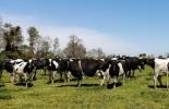 Ganadería, ganadería colombia, noticias ganaderas, noticias ganaderas colombia, CONtexto ganadero, nitrógeno, fijar nitrógeno, ventajas de fijar nitrógeno pastoreo y nitrógeno, nitrógeno en ganadería