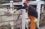 Ciclo II contra aftosa se realizará del 9 de noviembre al 23 de diciembre, bovinos, bufalinos, fiebre aftosa, exceptúa Urabá Chocoano, fronteras en barrido, brucelosis obligatoria en Antioquia, revacunar hembras, rabia en el Meta, Rabia en Norte de Santander, prevenir enfermedades, Resolución 0077663, OEGAS emitirán RUV, revacunaciones si se consideran, noticias de ganadería colombiana, CONtexto ganadero.