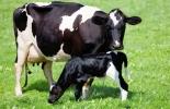 Ganadería, ganadería colombia, noticias ganaderas, noticias ganaderas colombia, CONtexto ganadero, infertilidad vacas, infertilidad vacas lecheras, indicadores de infertilidad, indicadores de infertilidad vacas lecheras, indicadores de infertilidad vacas de carne, problemas de infertilidad en vacas