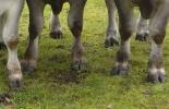 patologías digitales bovinos, patologías digitales ganado bovino, Causas de deformación de pezuñas en los bovinos, pezuñas de bovinos, causas cojeras bovinos, cojeras bovinos, cojera patologia, nutrición cojera, cojera ganado leche, enfermedades de las pezuñas, factores de predisposición para la deformación de pezuñas, deformación pezuñas bovinos, ganaderos, ganaderos colombia, ganado, bovinos, ganado bovino, Ganadería, ganadería colombia, noticias ganaderas, noticias ganaderas colombia, CONtexto ganadero