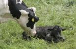 ganadería, ganadería colombia, noticias ganaderas, noticias ganaderas colombia, contexto ganadero, estrógenos, estrógenos para metritis, tratamiento de metritis, metritis bovina, vacas con metritis, infertilidad bovina, infertilidad en vacas, estrógenos para vacas, uso de estrógenos para vacas