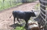 Ganadería, ganadería colombia, noticias ganaderas, noticias ganaderas colombia, CONtexto ganadero, heredabilidad, temperamento, temperamento bovinos, agresividad bovinos, bovinos calmados, manejo de temperamento en bovinos, mansedumbre, adiestramiento en bovinos, mal temperamento en bovinos