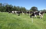 Ganadería, ganadería colombia, noticias ganaderas, noticias ganaderas colombia, CONtexto ganadero, leche, ganadería de leche, vacas alimentadas a pasto, animal's health, alimentación para vacas, vacas lecheras
