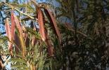 Ganadería, ganadería colombia, noticias ganaderas, noticias ganaderas colombia, CONtexto ganadero, ganadería colombiana sostenible, Ganadería Sostenible, leucaena, tipos de leucaena, consevación semilla de leucena, selección semilla de leucaena
