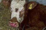 Enfermedades infecciones ojos bovinos, Enfermedades oculares en bovinos, Problemas oculares, enfermedades bovinas, queratoconjuntivitis infecciosa bovina, bacteria Moraxella bovis, Laceraciones en la córnea, carcinoma ocular de células escamosas o carcinoma ocular bovino, Diarrea Viral Bovina, ganaderos, ganaderos colombia, ganado, bovinos, ganado bovino, Ganadería, ganadería colombia, noticias ganaderas, noticias ganaderas colombia, CONtexto ganadero, contextoganadero