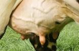 Ganadería, ganadería colombia, noticias ganaderas, noticias ganaderas colombia, CONtexto ganadero, salud glándula mamaria, puntaje de la ubre, pruebas de mastitis, mastitis, prevención de mastitis, plan sanitario, creación de plan sanitario, salud del hato