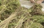 Uso de biomasa de cáñamo en ganadería, cáñamo en ganadería, cáñamo ganado bovino, investigación sobre el uso de biomasa de cáñamo en ganadería, producción de cáñamo por hectárea, rendimiento cáñamo por hectárea, costo de producción del cáñamo, cáñamo alimento para el ganado, alimentación bovina, alimento ganado bovino, ganaderos, ganaderos colombia, ganado, vacas, vacas Colombia, bovinos, ganado bovino, Ganadería, ganadería colombia, noticias ganaderas, noticias ganaderas colombia, CONtexto ganadero, contex