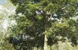 ganadería, ganadería colombia, noticias ganaderas, noticias ganaderas colombia, contexto ganadero, ganadería colombiana sostenible, ganadería sostenible, especies nativas, árboles nativos, árboles nativos en colombia, ganadería colombiana sostenible, proyecto ganadería colombiana sostenible, roble andino, roble andino en Colombia, recomendaciones roble andino en Colombia, cuidado el roble andino en colombia