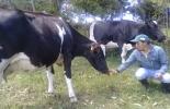 Nueva Zelandia, modelo de producción, leche, Nariño, Boyacá, cundinamarca, productores, cadena de valor, conocimiento, experiencias, Agrosavia, validación, Tecnología, obonuco, criterios, factores, adopción, evaluación, visitas, plan de finca, prácticas de manejo de suelo, pasturas, cría de terneras, calidad de leche, herramienta financiera, Ganadería, ganadería colombia, noticias ganaderas colombia, CONtexto ganadero