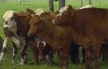 Temperamento bovino, temperamento vaca, temperamento procesos de selección, procesos de selección bovino, Genética bovina, influencia temperamento en genética bovina, temperamento razas bovinas, temperamento heredable, temperamento hereditario, ganaderos, ganaderos colombia, ganado, vacas, vacas Colombia, bovinos, Ganadería, ganadería colombia, noticias ganaderas, noticias ganaderas colombia, CONtexto ganadero, contextoganadero