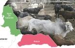 Organización Mundial de Sanidad Animal (OEI), zona 2 libre de aftosa con vacunación, Arauca, Vichada y Curabá como zonas libres de fiebre aftosa con vacunación, ICA, movilización de ganado desde Arauca, vacas, vacas Colombia, lechería, bovinos, ganadería bovina, ganadería bovina Colombia, noticias ganaderas, noticias ganaderas Colombia, contextoganadero