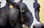 ganadería, ganadería colombia, noticias ganaderas, noticias ganaderas colombia, contexto ganadero, producción ganadera, producción ganadera sostenible, desparasitar bovinos, tiempo para desparasitar bovinos, ciclo de vacunación, vacunación contra aftosa y brucelosis bovina, desparasitar antes de vacunar , principios básicos para desparasitar, manejo de praderas, manejo de praderas para contagio de parásitos, moscas, erradicar las moscas, controlar las moscas