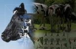 Ganadería, ganadería colombia, noticias ganaderas, noticias ganaderas colombia, CONtexto ganadero, evaluar la condición corporal de las vacas, condición corporal del ganado, Balance Energético Negativo, producción de leche, post-parto, condición corporal, alimentación para vacas frescas, Elanco, Jorge Zúñiga elanco