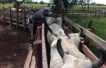 Colombia, ciclo de vacunación, vacunación contra la fiebre aftosa, brucelosis, rabia, Fedegán-FNG, ICA, Ministerio de Agricultura y Desarrollo Rural, bloqueos de vías, vacas, vacas Colombia, lechería, bovinos, ganadería bovina, ganadería bovina Colombia, noticias ganaderas, noticias ganaderas Colombia, contextoganadero