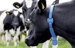 ganadería, ganadería colombia, noticias ganaderas, noticias ganaderas colombia, contexto ganadero, gps, gps para las vacas, geolocalización de los ganados, enfermedades de los ganados bovinos, animales en riesgo