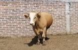 ganadería, ganadería colombia, noticias ganaderas, noticias ganaderas colombia, contexto ganadero, timpanismo, timpanitis, como aliviar el timpanismo, recomendaciones para tratar el timpanismo, timpanismo en bovinos, como manejar la timpanitis en bovinos