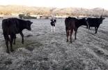 Ganadería, ganadería colombia, noticias ganaderas, noticias ganaderas colombia, CONtexto ganadero, vacas lecheras, producción de vacas lecheras, vacas holstein, vacas Holstein en Nariño, efectos de bajas temperaturas en calidad de la leche, efectos de bajas temperaturas en productividad lechera