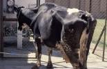ganadería, ganadería colombia, noticias ganaderas, noticias ganaderas colombia, contexto ganadero, producción ganadera, producción ganadera sostenible, paratuberculosis, etapas de la paratuberculos, paratuberculosis subclínica, paratuberculosis clínica