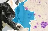 Ganadería, ganadería colombia, noticias ganaderas, noticias ganaderas colombia, CONtexto ganadero, parto de la vaca, gestación de la vaca, periodo de puerperio, puerperio de la vaca, metritis, metritis subclínica, Endometritis bovina, endometritis subclínica, factores que predisponen la endometritis, higiene del parto, prevalencia endometritis