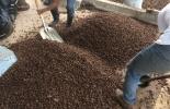 Ganadería, ganadería colombia, noticias ganaderas, noticias ganaderas colombia, CONtexto ganadero, Café, subproductos del café, pulpa de café, pulpa de café para bovinos, ensilaje de café, ensilaje de café para bovinos