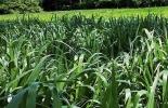 pasto Mulato II, forrajes híbridos, forrajes que contribuyen a mitigar el cambio climático, propiedades pasto Mulato II, propiedades nutricionales Mulato II, formas de suministrar el pasto Mulato II al ganado, ventajas del Mulato II, problemas del Mulato II, parámetros productivos del Mulato II, ganado bovino, ganadería bovina, carne, leche, ganaderos, ganaderos colombia, ganado, vacas, vacas Colombia, bovinos, Ganadería, ganadería colombia, noticias ganaderas, noticias ganaderas colombia, CONtexto ganadero
