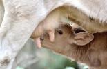 ganadería, ganadería colombia, noticias ganaderas, noticias ganaderas colombia, contexto ganadero, terneros, terneros recién nacidos, descubrimiento terneros recién nacidos, terneros recién nacidos con bacterias, microbiota de los terneros recién nacidos
