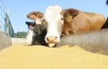 Ganadería, ganadería colombia, noticias ganaderas, noticias ganaderas colombia, CONtexto ganadero, nutrientes ganado bovino, cobalto para ganado bovino, deficiencia cobalto para bovinos, deficiencia cobre en bovinos, deficiencia fosforo, deficiencia manganeso, defiencia yodo deficiencia calcio