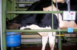 Suplemento bovino yuca