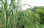 Producción caña de azúcar Colombia
