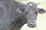 Babesiosis bovina