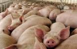Bienestar animal de cerdos