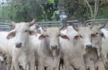 Ganado bovino Colombia