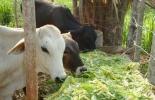 Corte de pasto para bovinos