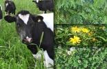 pastos vacas