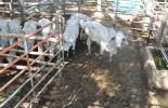 manejo de vacas en corral