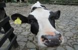 chapetas para bovinos