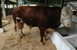 El ganado de corral de calidad se vende fácil en una feria ganadera