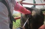 inseminación artificial bovina