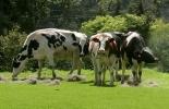 grasas vegetales aumentan producción de leche en vacas paridas