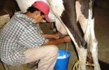 Sector lácteo en crisis económica.jpg