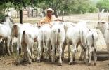 El sistema de monta estacional se enfoca en que el toro entre a servir a las hembras en determinadas épocas del año y deje al mayor número de vacas preñadas