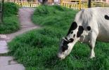 Consumo vaca pasto calle, vaca comiendo pasto calle