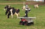 Robot que ayuda a arrear ganado