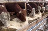 suplemento bovino