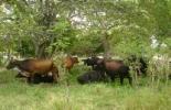 Con este sistema se está haciendo más sustentable el ejercicio de la ganadería en el país. Foto: Archivo.